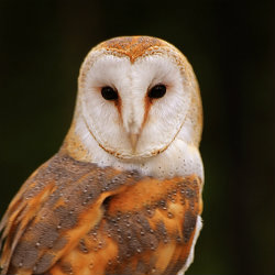 Endangered Barn Owl