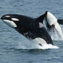 Protect Endangered Killer Whales