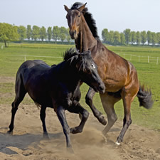 Slaughter of Horses for Human Consumption